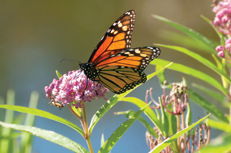Making a way for monarchs