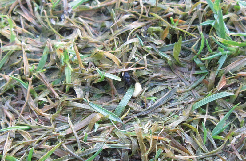 Turfgrass insect management: The windshield or the bug