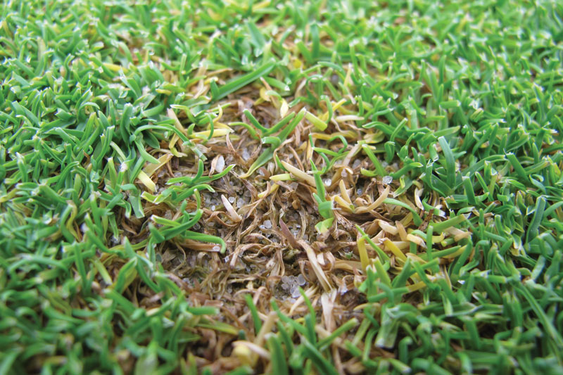 Anthracnose annual bluegrass
