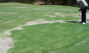 Zoysiagrass on greens