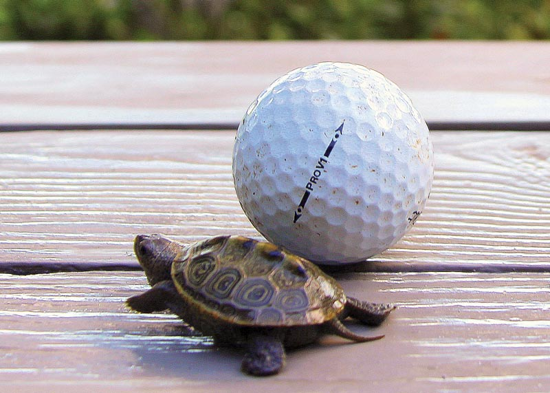 Diamondback terrapin golf course
