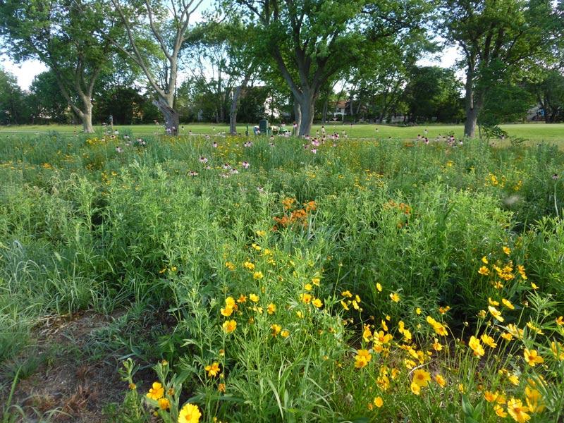 Golf course prairie planting