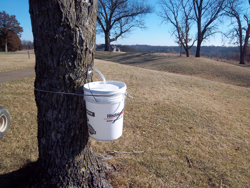 Golf course maple sap collection