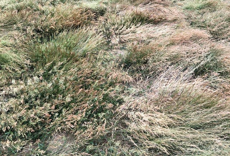 Creeping bentgrass seed shortage
