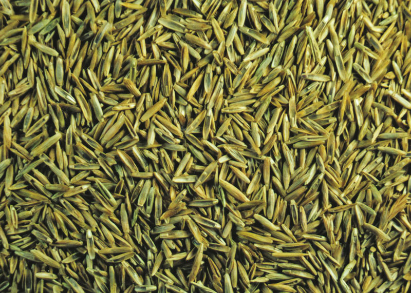 Shortage perennial ryegrass seed