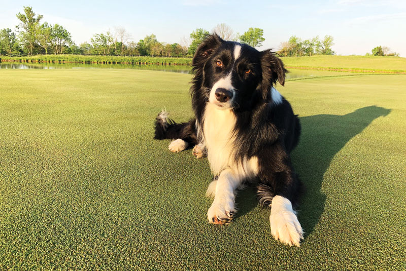 Border collie golf course