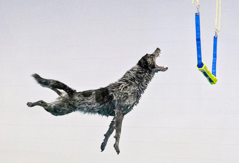 Diving dog Marbles