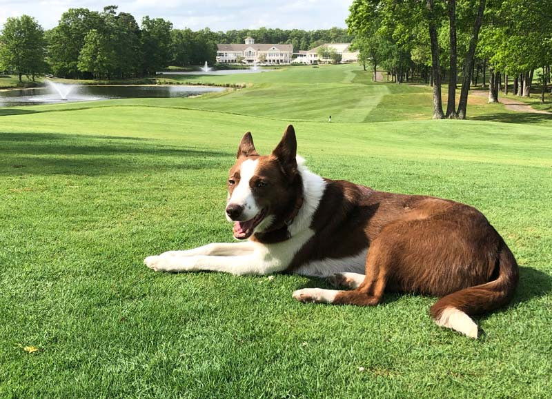 Golf course dog