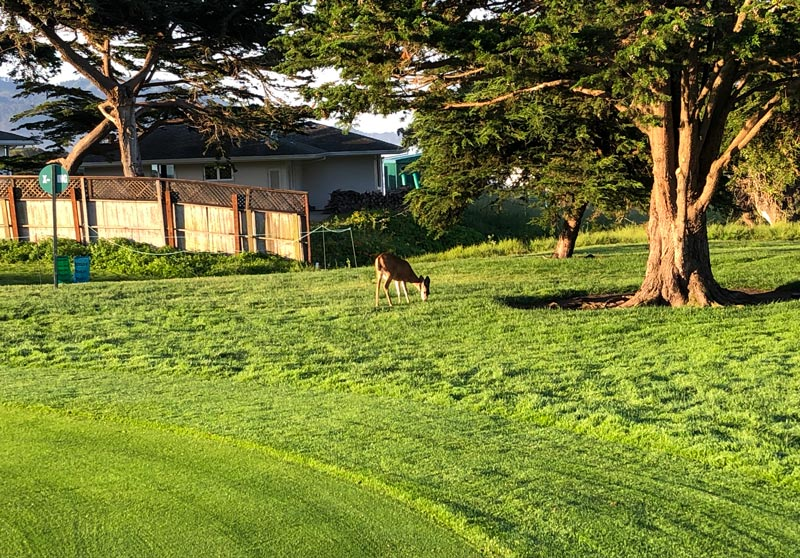 Pebble Beach deer