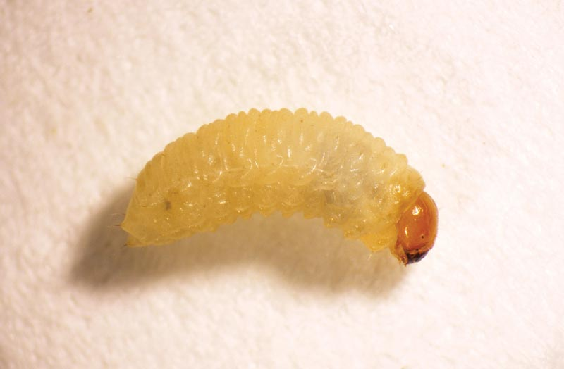 Annual bluegrass weevil larva
