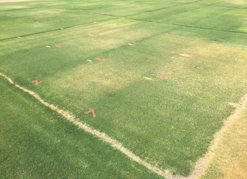 Bermudagrass drought