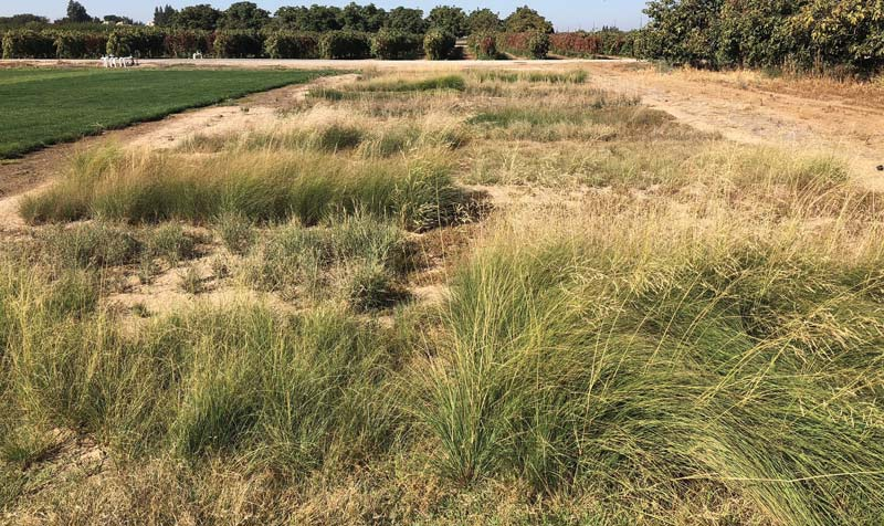 Low-maintenance grasses