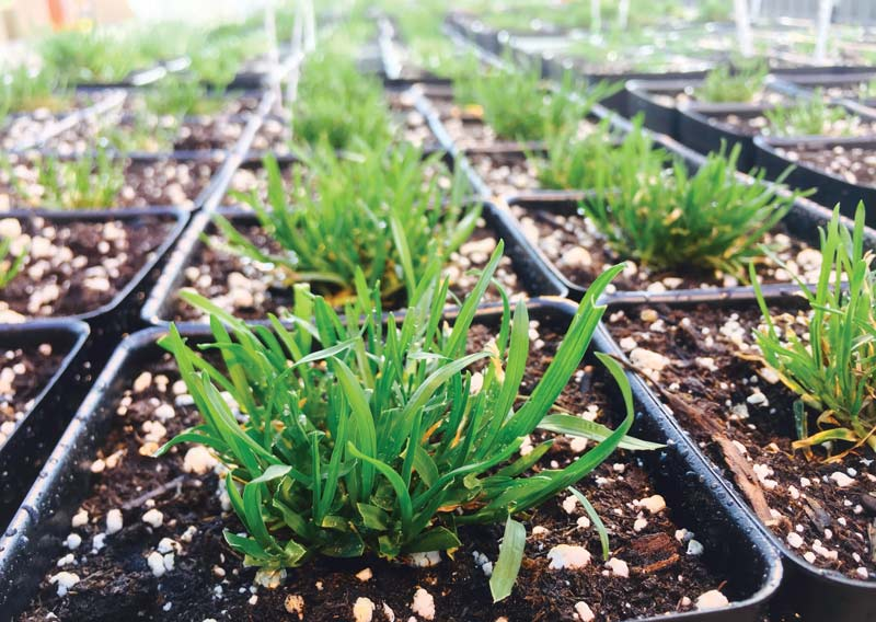 Poa annua research