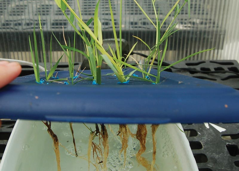 Turf drought hydroponic