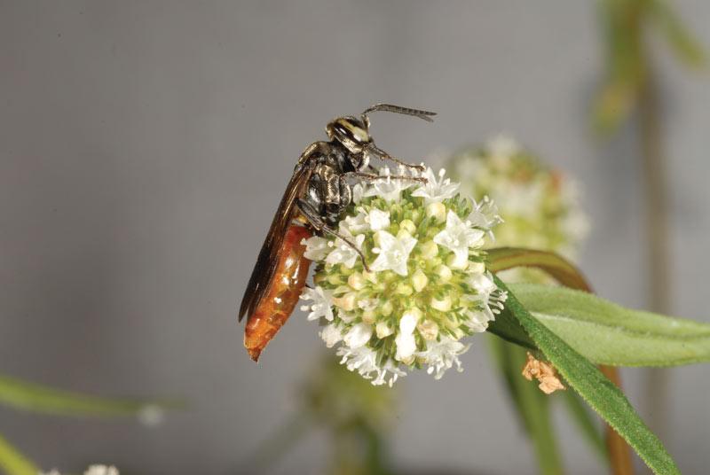 Larra wasp