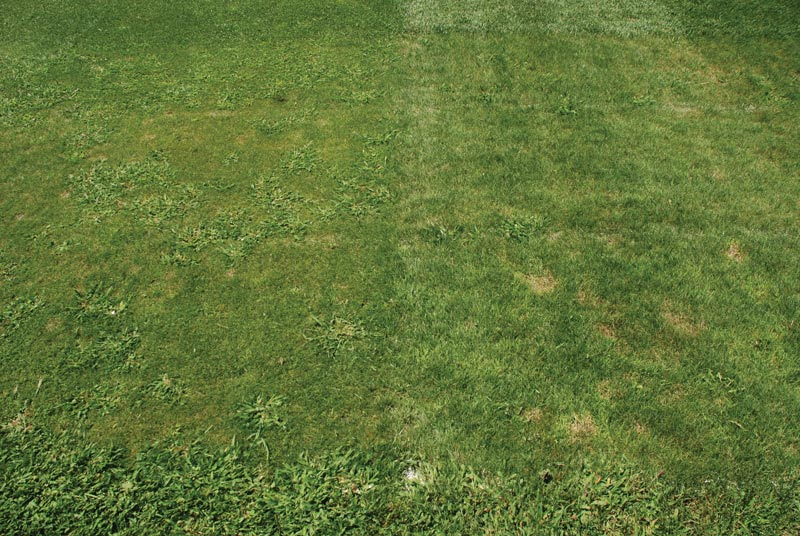 Mowing height fine fescue