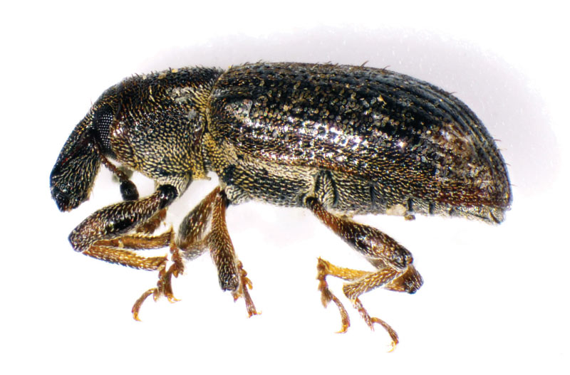 Adult annual bluegrass weevil