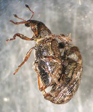 Annual bluegrass weevils mating