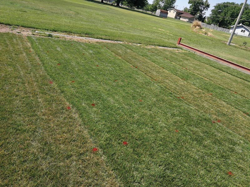 Turf drought survival