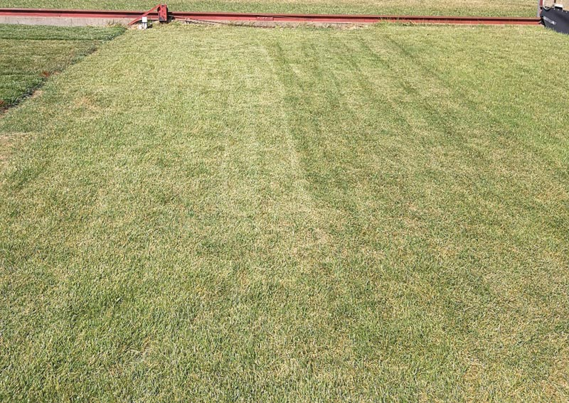 Zoysiagrass drought