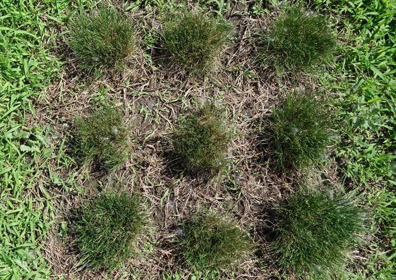 Fine fescue crabgrass