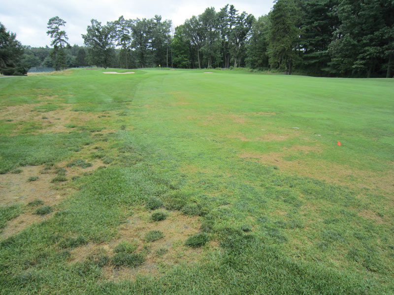 Annual bluegrass weevil damage