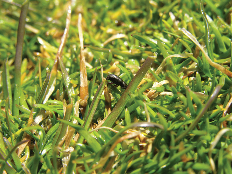 Scout annual bluegrass weevil