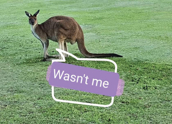 Kangaroo on golf course